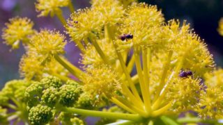 10 Best Benefits of Galbanum Essential Oil