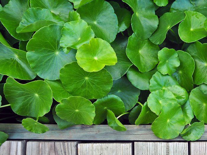 18 Interesting Gotu Kola Benefits | Organic Facts