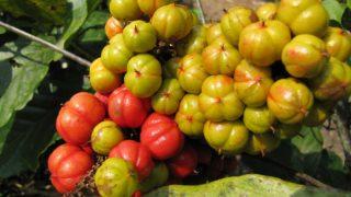 15 Amazing Health Benefits of Guarana