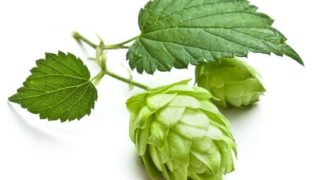 Health Benefits of Hops Essential Oil