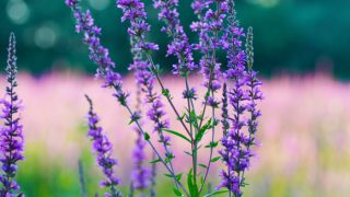 Top 12 Benefits of Hyssop