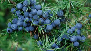 7 Amazing Benefits of Juniper Berry