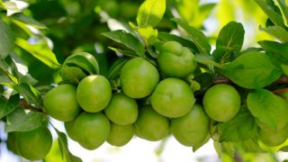 7 Best Kakadu Plums Benefits & Uses