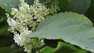 Close up of white Japanese knotweed plant