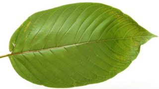 Effects of Smoking Kratom Leaf