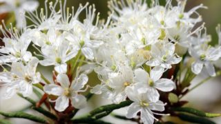 What Is Ledum Essential Oil Used For?