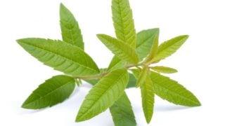 Lemon Verbena Oil: Benefits & Uses