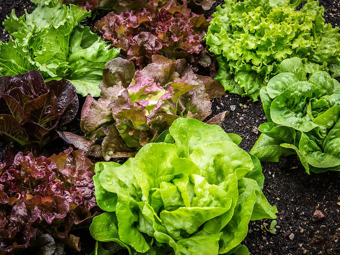 17 Types Of Lettuce & Best Ways To Use Them