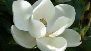 10 Impressive Benefits of Magnolia