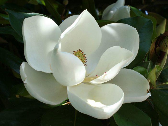 10 Impressive Health Benefits Of Magnolia Organic Facts