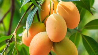 How to Tell if a Mango is Ripe or Not?