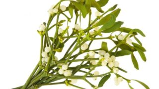 Health Benefits of Mistletoe