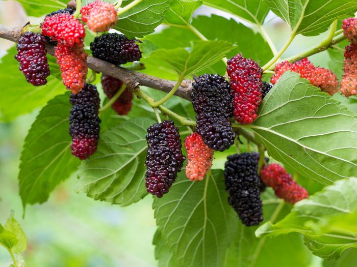 Mulberry Tree Leaf: Benefits & Uses