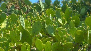 Closeup of nopale plants in a field