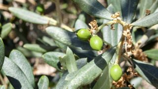 11 Amazing Olive Leaf Extract Benefits & Uses