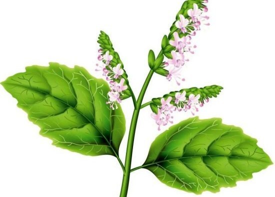 15 Amazing Benefits Of Patchouli Essential Oil Organic Facts