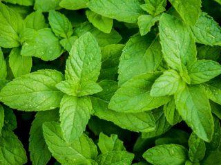 10 Amazing Benefits Uses Of Lobelia Organic Facts
