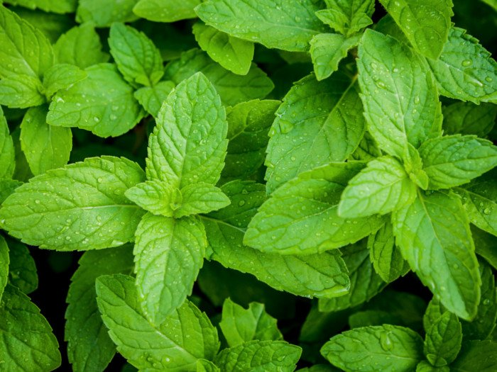 Fresh peppermint leaves with moisture on it