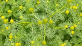 12 Surprising Pineappleweed Medicinal Uses & Benefits