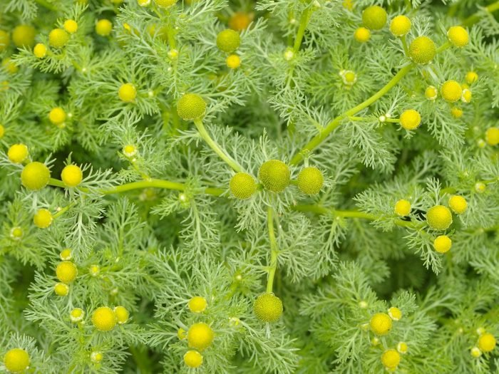 12 Surprising Benefits Of Pineappleweed Medicinal Uses
