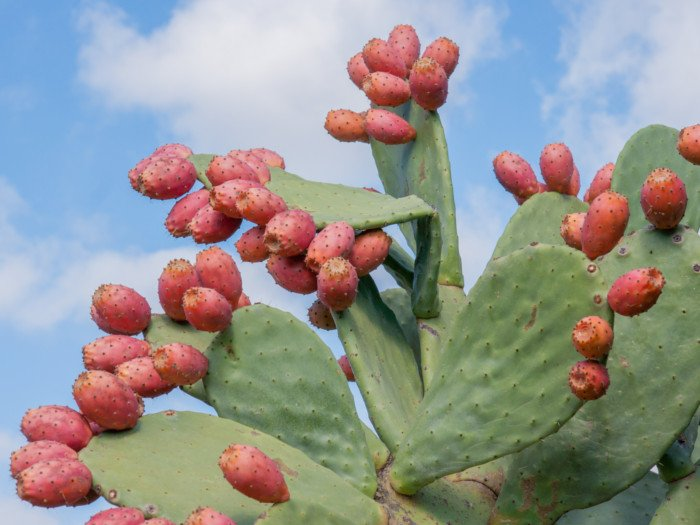 8 Surprising Prickly Pear Benefits Organic Facts