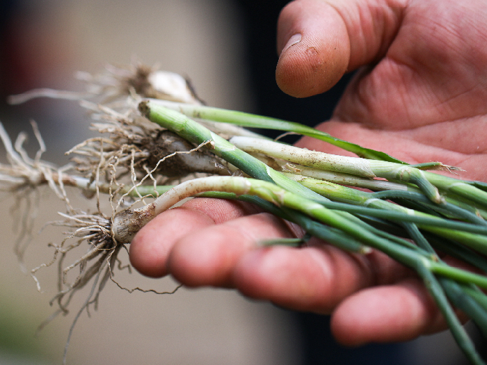 Young green wild onion plants called ramps in hand