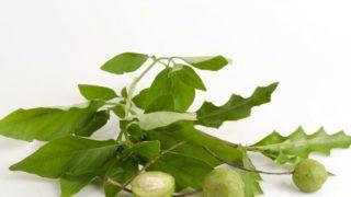 8 Amazing Benefits of Rhinacanthus Nasutus