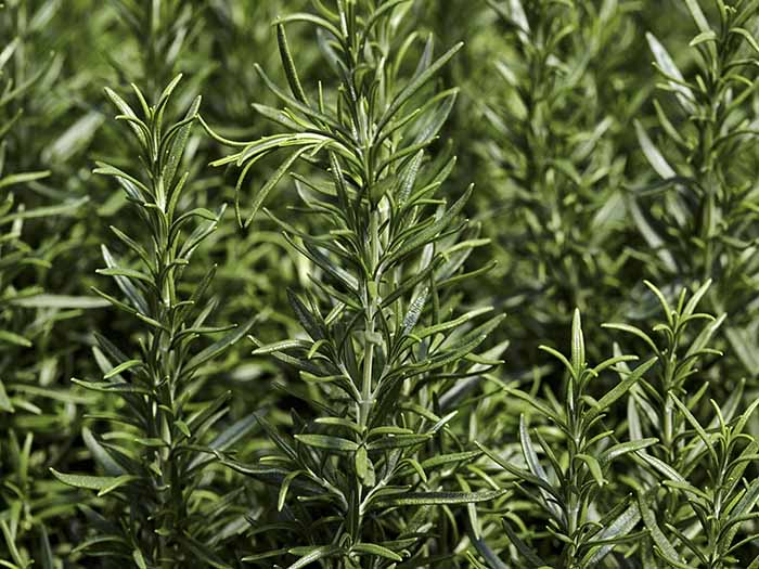 substitutes for rosemary