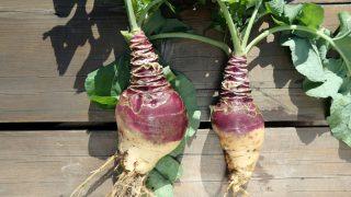 10 Interesting Benefits of Rutabaga