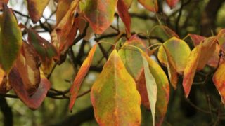 9 Incredible Benefits of Sassafras Oil