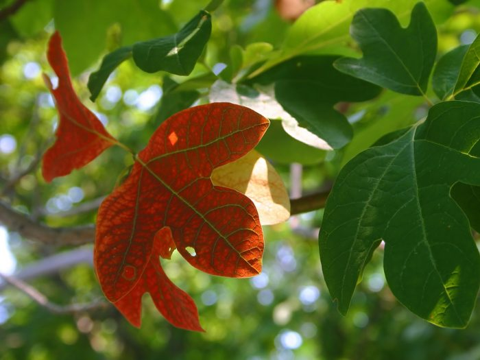 Leaves of the Sassafras tree
