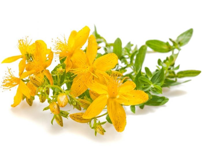 the medical uses of the hypericum perforatum stjohns wort Benefits of st john's wort  st john's wort (hypericum perforatum)  site users seeking medical advice about their specific situation should consult with their.