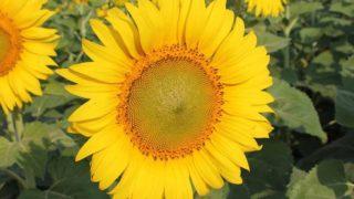 7 Amazing Benefits of Sunflower Lecithin
