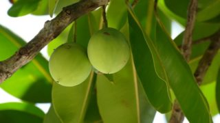 Tamanu Oil- Benefits & Side Effects