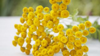 11 Incredible Benefits & Uses of Tansy