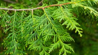 9 Best Benefits & Uses of Arborvitae