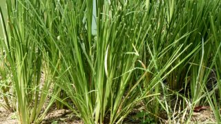 8 Incredible Benefits of Vetiver