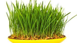 11 Impressive Benefits Of Wheatgrass Nutrition