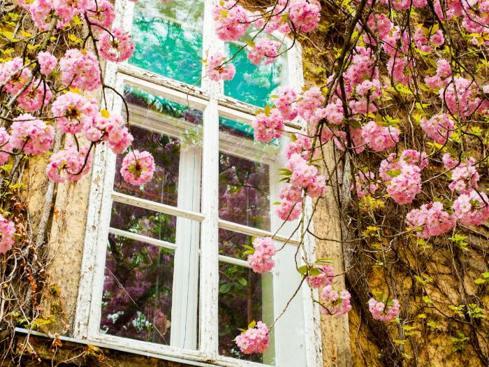 Beautiful pink cherry flowers around a white window
