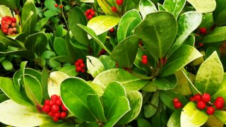 10 Best Benefits & Uses of Wintergreen